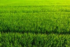 Fondo de la textura de la hierba verde Imagen de archivo libre de regalías