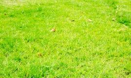 Fondo de la textura de la hierba verde de la perspectiva, fondo natural Fotografía de archivo libre de regalías