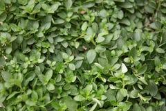 Fondo de la textura de las plantas y de las hojas del orégano Imagenes de archivo