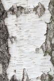 Fondo de la textura del árbol de abedul blanco Imágenes de archivo libres de regalías