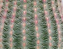 Fondo de la textura del cactus Imágenes de archivo libres de regalías