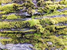 Fondo de la textura del musgo Fotos de archivo
