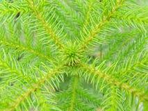 fondo de la textura del pino Fotografía de archivo