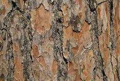 Fondo de la textura del pino de la corteza de árbol Fotografía de archivo