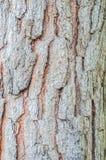 Fondo de la textura del pino de Brown Imagenes de archivo
