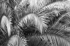 Fondo de la textura del verde de las hojas de palma Fotografía de archivo