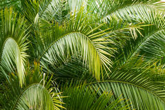 Fondo de la textura del verde de las hojas de palma Fotografía de archivo libre de regalías