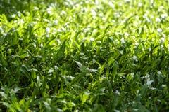 Fondo de la textura de la hierba verde con luz del sol Fotos de archivo libres de regalías