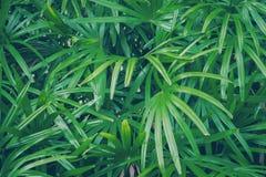 Fondo de la textura de las hojas del verde de la palma de señora Foto de archivo