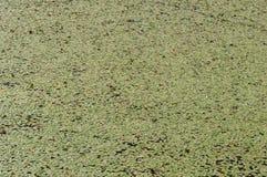 Fondo de la textura verde enorme de los cojines de lirio Imagen de archivo