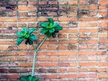Fondo de la vieja textura roja de la pared de ladrillo con la planta y las flores Foto de archivo libre de regalías