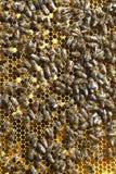 Fondo de las abejas de la miel que se sientan en sitios Foto de archivo libre de regalías