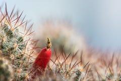 Fondo de las agujas del cactus Imagenes de archivo
