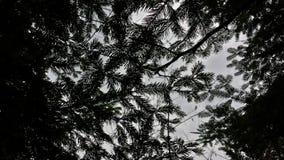 Fondo de las agujas del pino Imágenes de archivo libres de regalías