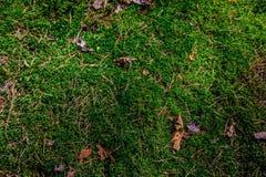 Fondo de las agujas del pino del musgo en el bosque Foto de archivo libre de regalías