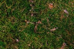 Fondo de las agujas del pino del musgo en el bosque Imagen de archivo libre de regalías