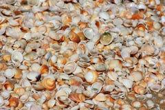 Fondo de las conchas marinas Foto de archivo