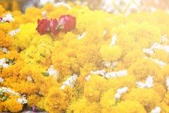 fondo de las flores amarillas que cuelgan en la casa del spirite en la prohibición Fotos de archivo