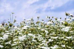 Fondo de las flores blancas Imagenes de archivo