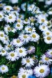 Fondo de las flores blancas Foto de archivo libre de regalías