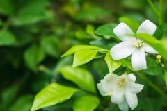 Fondo de las flores blancas Foto de archivo