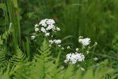 Fondo de las flores blancas de hojas verdes Fotografía de archivo