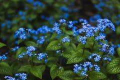 Fondo de las flores de la nomeolvides del Myosotis Pequeñas flores suavemente azules contra un fondo del follaje verde enorme foto de archivo libre de regalías