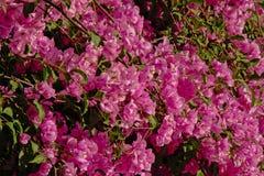 Fondo de las flores rosadas de la buganvilla Fotografía de archivo libre de regalías