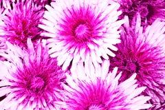 Fondo de las flores de Terry con las flores blanco-carmesís Fotos de archivo