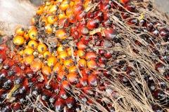 Fondo de las frutas de la palma de aceite Foto de archivo