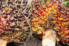 Fondo de las frutas de la palma de aceite Imagen de archivo