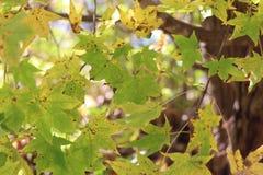 Fondo de las hojas de arce verdes/de las hojas de arce/ Imágenes de archivo libres de regalías