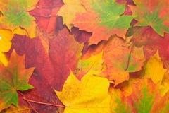 Fondo de las hojas de arce Foto de archivo