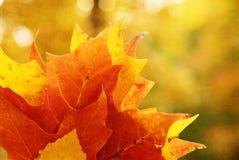 Fondo de las hojas de arce Foto de archivo libre de regalías