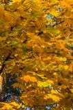 Fondo de las hojas de arce Fotografía de archivo