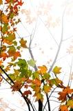 Fondo de las hojas de arce de la caída Fotografía de archivo