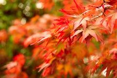 Fondo de las hojas de arce del otoño Fotos de archivo libres de regalías
