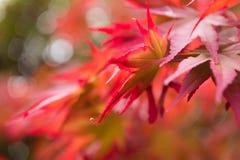 Fondo de las hojas de arce del otoño Fotografía de archivo libre de regalías