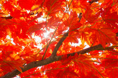 Fondo de las hojas de arce del otoño Imagen de archivo libre de regalías