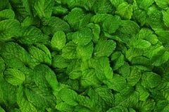 Fondo de las hojas de menta. Foto de archivo libre de regalías
