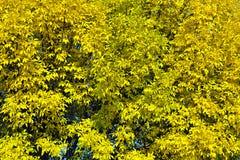 Fondo de las hojas de otoño amarillas Fotografía de archivo libre de regalías