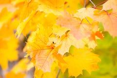 Fondo de las hojas de otoño del arce imagenes de archivo