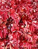 Fondo de las hojas de otoño rojas brillantes Imagen de archivo libre de regalías