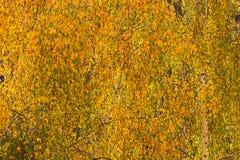 Fondo de las hojas del abedul amarillo Fotografía de archivo libre de regalías