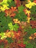 Fondo de las hojas del geranio Foto de archivo