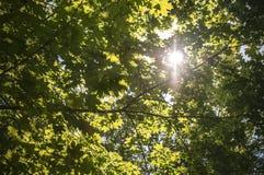 Fondo de las hojas del verde en luz del sol Imagen de archivo