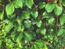 Fondo de las hojas del verde y de las ramas del marrón con luz del sol de la mañana Foto de archivo libre de regalías