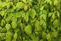 Fondo de las hojas jovenes verdes de hojas grandes Imagen de archivo