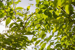 Fondo de las hojas y de las ramas del verde/textura Imagen de archivo libre de regalías