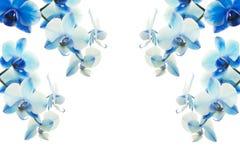 Fondo de las orquídeas azules Imagenes de archivo